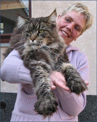 """кот породы Мейн Кун может весить до 18 кг. их называют еще  """"маленькая рысь """""""