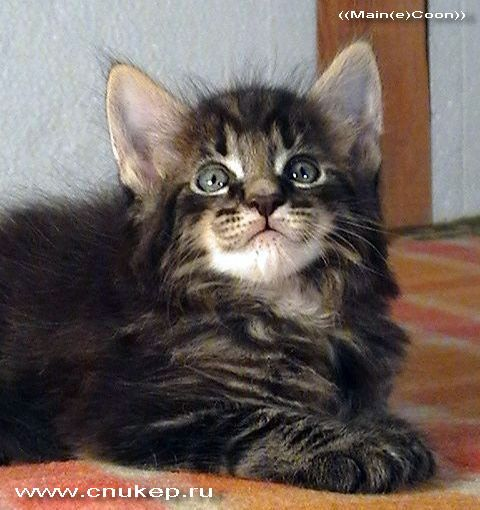 не ест золотая кошка порода кошек майкун ... глаза стригучий лишай у...