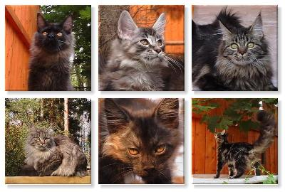 ...кот породы Мэй Кун цитата и фото отсюда. http://wap-russia.narod.ru.